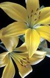 κρίνοι κίτρινοι Στοκ εικόνα με δικαίωμα ελεύθερης χρήσης