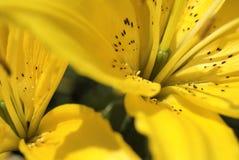 κρίνοι κίτρινοι Στοκ Φωτογραφίες