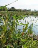 Κρίνοι και βλάστηση νερού στην ήρεμη λίμνη στοκ εικόνα