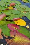 Κρίνοι νερού μια ηλιόλουστη ημέρα - πολύχρωμη φωτογραφία Στοκ φωτογραφίες με δικαίωμα ελεύθερης χρήσης