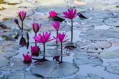 Κρίνοι νερού σε μια λίμνη στοκ φωτογραφία με δικαίωμα ελεύθερης χρήσης