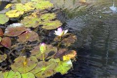 Κρίνοι νερού σε μια λεκάνη της φυτείας μπαμπού Anduze Στοκ Φωτογραφία