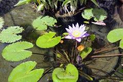 Κρίνοι νερού σε μια λεκάνη της φυτείας μπαμπού Anduze Στοκ Εικόνες