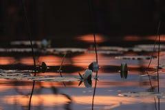 Κρίνοι νερού στη λίμνη ηλιοβασιλέματος Στοκ Εικόνα