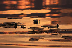 Κρίνοι νερού στο ηλιοβασίλεμα Στοκ εικόνα με δικαίωμα ελεύθερης χρήσης