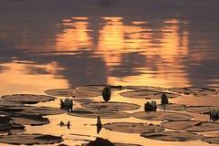 Κρίνοι νερού στο ηλιοβασίλεμα Στοκ Φωτογραφίες