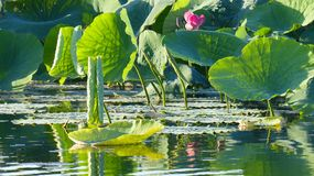 Κρίνοι νερού στο κίτρινο εθνικό πάρκο Αυστραλία Kakadu νερών Στοκ Φωτογραφία