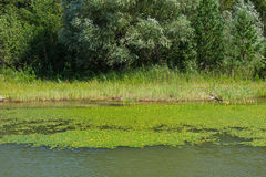 Κρίνοι νερού Στοκ φωτογραφίες με δικαίωμα ελεύθερης χρήσης