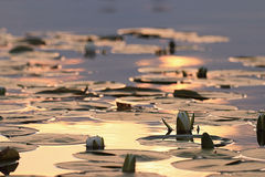 Κρίνοι νερού Στοκ εικόνες με δικαίωμα ελεύθερης χρήσης