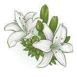 Κρίνοι λουλουδιών διανυσματική απεικόνιση