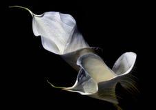 Κρίνοι της Calla Στοκ Εικόνες