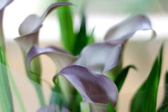 Κρίνοι της Calla Στοκ Φωτογραφία