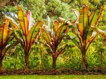 Κρίνοι Cannaceae Canna Στοκ Φωτογραφίες