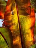 Κρίνοι Cannaceae Canna Στοκ φωτογραφία με δικαίωμα ελεύθερης χρήσης