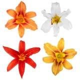 Κρίνος απομονωμένος λουλούδι&a λουλούδια καρτών ανασκόπησης που χαιρετούν τον καθολικό Ιστό προτύπων σελίδων κρίνων απομονωμένος  Στοκ φωτογραφία με δικαίωμα ελεύθερης χρήσης