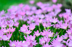 Κρίνος βροχής (κρίνος νεράιδων, rosea Zephyranthes) που ανθίζει στον κήπο, π Στοκ Φωτογραφία