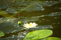 Κρίνος επιπλεόντων σωμάτων και νερού Στοκ εικόνα με δικαίωμα ελεύθερης χρήσης