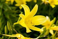 κρίνος κήπων κίτρινος Στοκ φωτογραφία με δικαίωμα ελεύθερης χρήσης