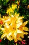 κρίνος κίτρινος Στοκ εικόνα με δικαίωμα ελεύθερης χρήσης