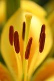 κρίνος κίτρινος Στοκ Εικόνες