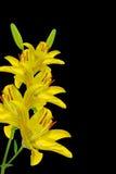 κρίνος κίτρινος Στοκ Φωτογραφίες