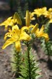 κρίνος κίτρινος Στοκ Εικόνα