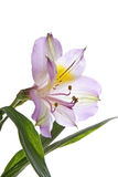 κρίνος λεπτομέρειας alstroemeria στοκ φωτογραφίες με δικαίωμα ελεύθερης χρήσης