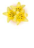 κρίνος λουλουδιών κίτρινος Στοκ Εικόνες