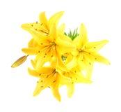 κρίνος λουλουδιών Στοκ Εικόνα