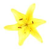 κρίνος λουλουδιών Στοκ φωτογραφία με δικαίωμα ελεύθερης χρήσης