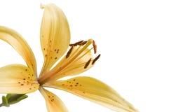 κρίνος λουλουδιών Στοκ φωτογραφίες με δικαίωμα ελεύθερης χρήσης