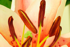 κρίνος λουλουδιών stamens Στοκ φωτογραφία με δικαίωμα ελεύθερης χρήσης