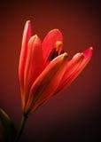 κρίνος λουλουδιών Στοκ εικόνα με δικαίωμα ελεύθερης χρήσης