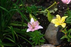 Κρίνος Λουλούδι κήπων Στοκ φωτογραφίες με δικαίωμα ελεύθερης χρήσης