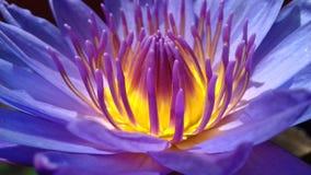 Κρίνος νερού λουλουδιών στοκ εικόνα με δικαίωμα ελεύθερης χρήσης
