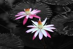 Κρίνος νερού, λουλούδι, λωτός, όμορφος κρίνος νερού Στοκ Φωτογραφίες