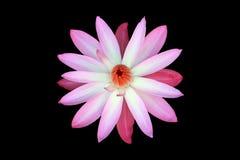 Κρίνος νερού, λουλούδι, λωτός, όμορφος κρίνος νερού Στοκ φωτογραφίες με δικαίωμα ελεύθερης χρήσης