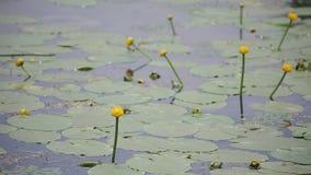 Κρίνος νερού με τα πράσινα φύλλα στη λίμνη φιλμ μικρού μήκους