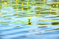 Κρίνος νερού στη λίμνη Στοκ Εικόνες