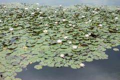Κρίνος νερού στη λίμνη Στοκ εικόνα με δικαίωμα ελεύθερης χρήσης
