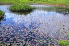 Κρίνος νερού του έλους Στοκ Φωτογραφίες