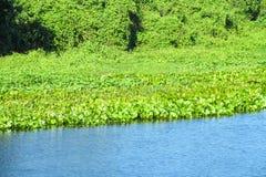 Κρίνος νερού Eichhornia crassipes Στοκ Εικόνες