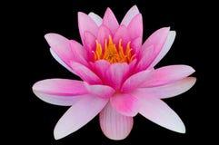 Κρίνος νερού Lotus που απομονώνεται με το ψαλίδισμα του μαύρου υποβάθρου πορειών Στοκ εικόνες με δικαίωμα ελεύθερης χρήσης