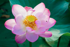 Κρίνος νερού, Lotus Στοκ Εικόνες
