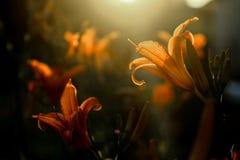 Κρίνος πυρκαγιάς - κήπος λουλουδιών Στοκ Φωτογραφίες