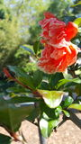 Κρίνος σε έναν κήπο Στοκ Εικόνες