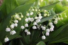 Κρίνος της κοιλάδας, ένα λουλούδι άνοιξη με τα άσπρα άνθη, μερικές φορές αποκαλούμενα κουδούνια Στοκ Φωτογραφίες