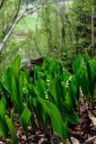 Κρίνος της κοιλάδας - majali Convallaria Στοκ εικόνες με δικαίωμα ελεύθερης χρήσης