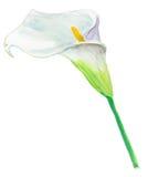 Κρίνος της Calla Για τις γαμήλιες προσκλήσεις και τις κάρτες διακοπών watercolor Στοκ Εικόνα