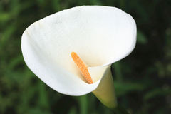 Κρίνος της Calla, κρίνος Arum, η χρυσή Calla Στοκ Εικόνες